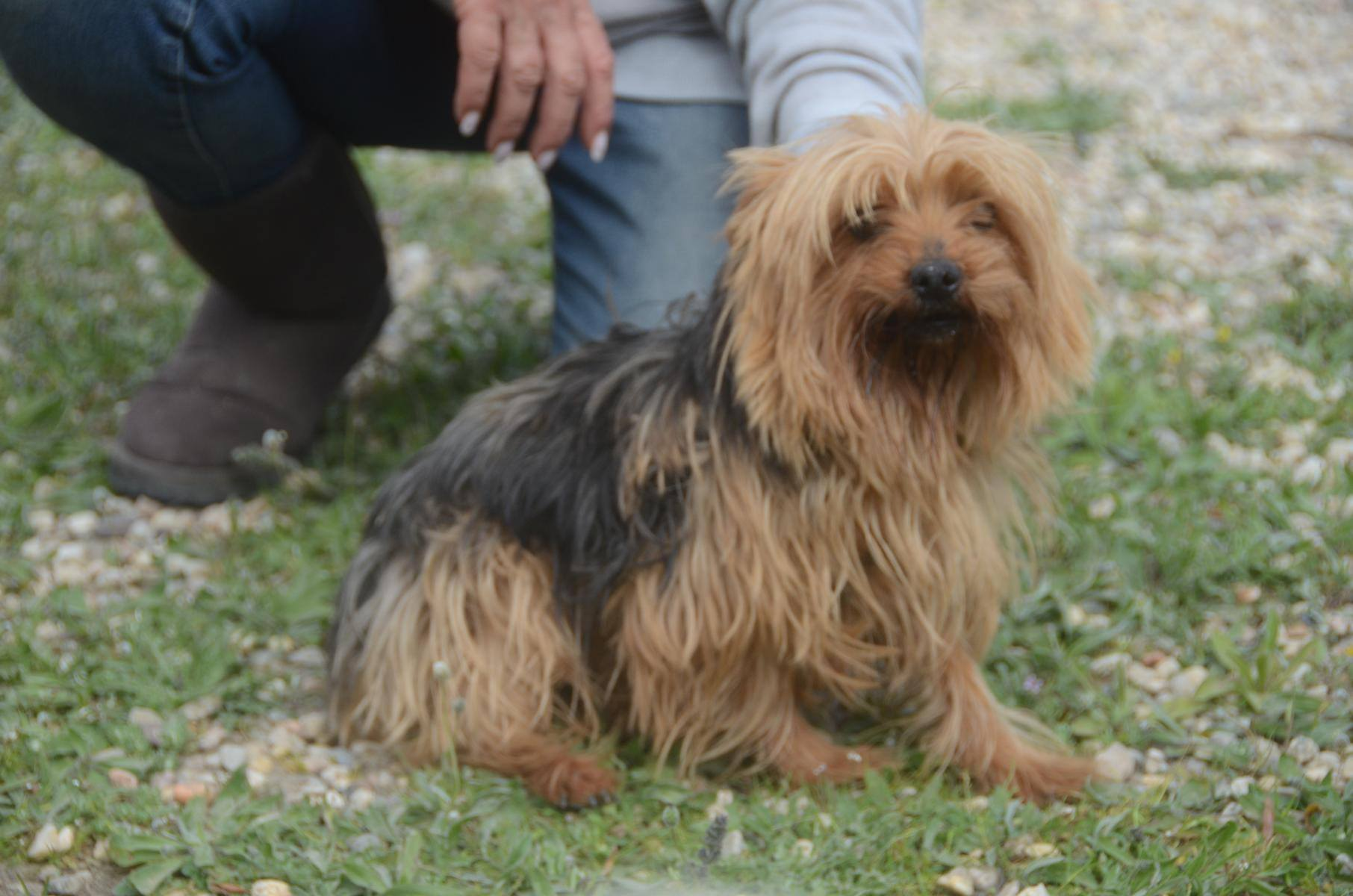 Yorkshire Terrier Bety