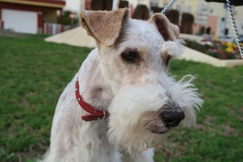 Fox-Terrier Niko