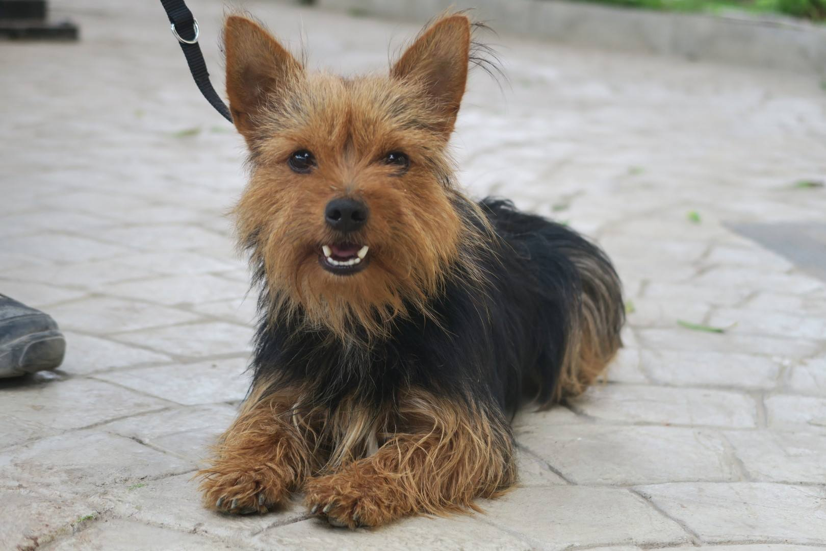 Yorkshire Terrier Yoyo