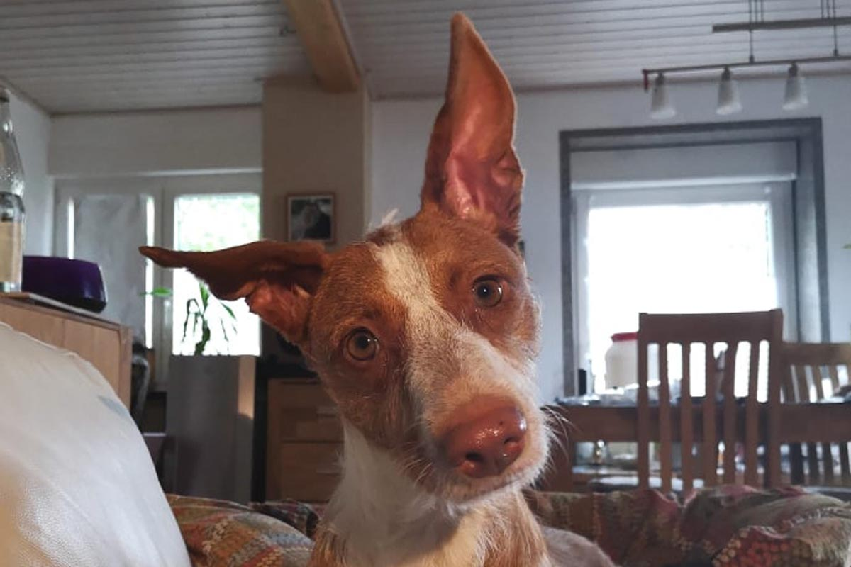 Podenco Sally P